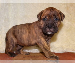 Bullmastiff Dog for Adoption in VERONA, Missouri USA