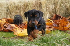 Doberman Pinscher Puppy For Sale in VADER, WA, USA