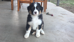 Australian Shepherd Puppy For Sale in TURLOCK, CA