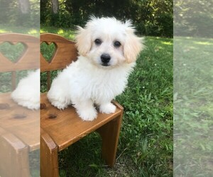 Havachon Puppy for Sale in NIANGUA, Missouri USA
