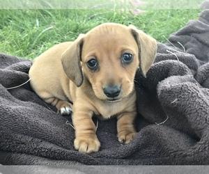 Dachshund Puppy for sale in YREKA, CA, USA