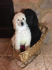 Poodle (Standard) Puppy For Sale in DAISYTOWN, PA, USA