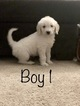 Goldendoodle Puppy For Sale in VACAVILLE, CA, USA