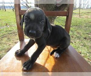 Great Dane Puppy for sale in GRAND RAPIDS, MI, USA