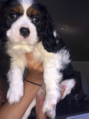 Cavalier King Charles Spaniel Puppy For Sale in TEMECULA, CA, USA