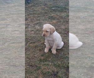 Labradoodle-Labrador Retriever Mix Puppy for sale in HARRISONBURG, VA, USA
