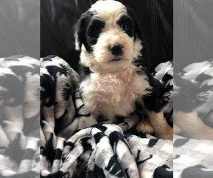 Sheepadoodle Puppy for sale in RIVER FALLS, WI, USA