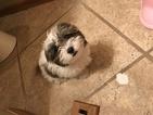 Shih Tzu Puppy For Sale in OTTOSEN, IA