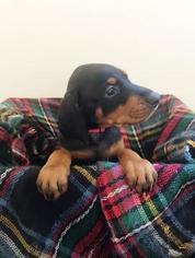 Doberman Pinscher Puppy For Sale in SPRING LAKE, MI, USA