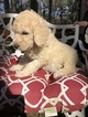 Small #4 Labradoodle