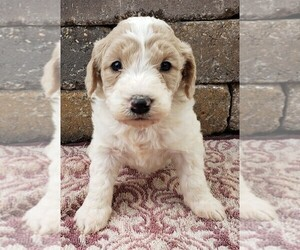 Goldendoodle-Poodle (Toy) Mix Puppy for Sale in MENOMONEE FALLS, Wisconsin USA