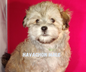Havachon Puppy for Sale in WINSTON SALEM, North Carolina USA