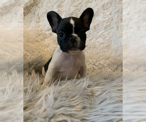 French Bulldog Puppy for Sale in HUSON, Montana USA