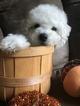 Maltipoo Puppy For Sale in PAULINE, SC, USA