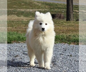 Samoyed Puppy for sale in NARVON, PA, USA