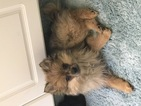 Pomeranian Puppy For Sale in LAS VEGAS, NV