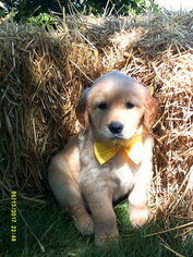 Golden Retriever Puppy For Sale in HAZLETON, PA, USA