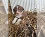 Border-Aussie Puppy For Sale in MONONA, IA, USA