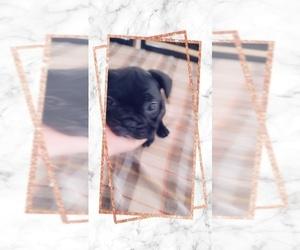 French Bulldog Puppy for Sale in TULARE, California USA