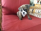 Bulldog Puppy For Sale in CAPE CORAL, FL, USA