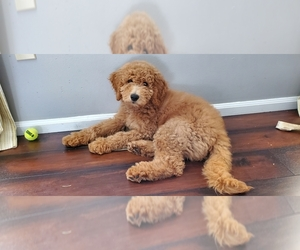 Goldendoodle Dog for Adoption in BRIGHTON, Missouri USA