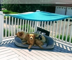 Golden Retriever Puppy for Sale in MASTIC BEACH, New York USA