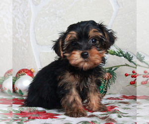 YorkiePoo Puppy for sale in GORDONVILLE, PA, USA