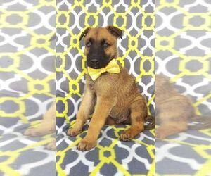 German Shepherd Dog-Siberian Husky Mix Puppy for sale in LANCASTER, PA, USA