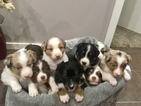 Australian Shepherd Puppy For Sale in PURDY, MO, USA
