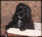 Shih-Poo Puppy For Sale in WAYLAND, IA, USA