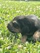 Puppy 6 Bloodhound