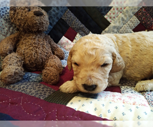 Goldendoodle Puppy for Sale in PELHAM, New Hampshire USA