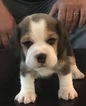 Beagle Puppy For Sale in SAN LUIS OBISPO, CA, USA
