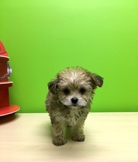 Yo-Chon Puppy For Sale in PORTSMOUTH, OH, USA