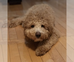 Goldendoodle Dog for Adoption in GREECE, New York USA