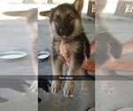 German Shepherd Dog Puppy For Sale in CALEDONIA, MS, USA