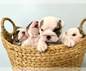 English Bulldog Puppy for Sale in HAMBURG, New Jersey USA