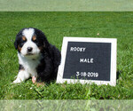 Puppy 5 Bernese Mountain Dog