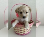 Puppy 4 Pomeranian-Yo-Chon Mix