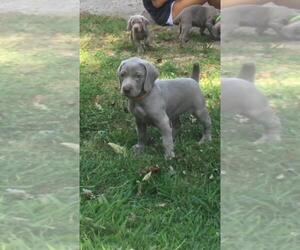 Weimaraner Puppy for Sale in CHATTANOOGA, Tennessee USA