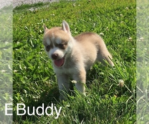 Siberian Husky Puppy for Sale in DEARBORN, Missouri USA