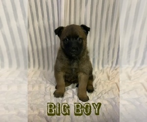 Belgian Malinois Puppy for Sale in DAPHNE, Alabama USA
