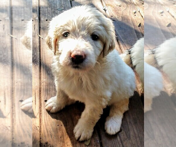 Medium Photo #7 Pyredoodle Puppy For Sale in MARION, TX, USA