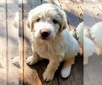Small Photo #7 Pyredoodle Puppy For Sale in MARION, TX, USA