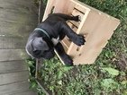 Cute cane Corso puppies