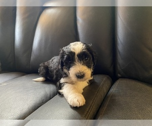 Sheepadoodle Puppy for sale in CARMEL, IN, USA