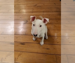 Bull Terrier Puppy for Sale in BELFAIR, Washington USA