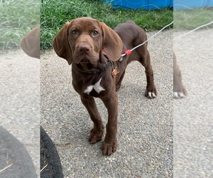 Bloodhound-Pointer Mix Puppy for Sale in STANWOOD, Washington USA