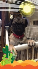 Pug Puppy For Sale in SUN CITY, AZ
