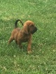 Bloodhound Puppy For Sale in OLMSTEAD, KY, USA